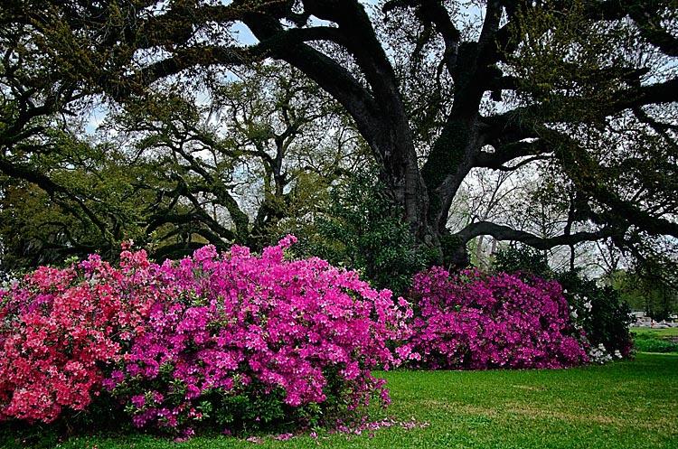 Azaleas Under the Oaks