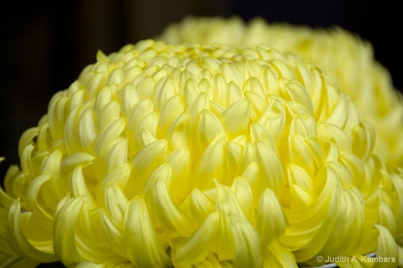 大菊 - large chrysanthemum