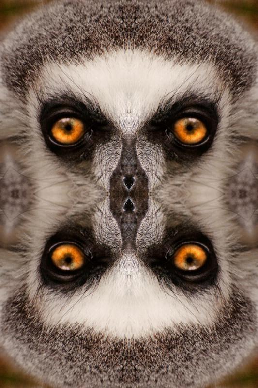 Kaleidoscope Lemur