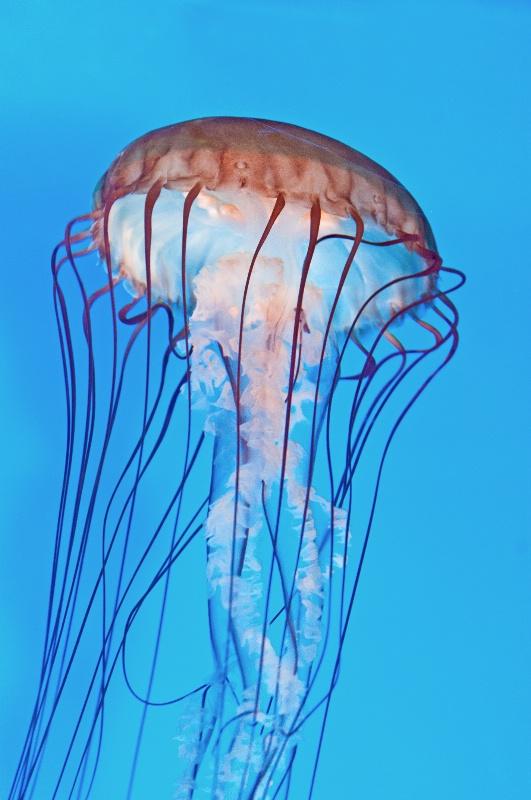 Boston Jellyfish