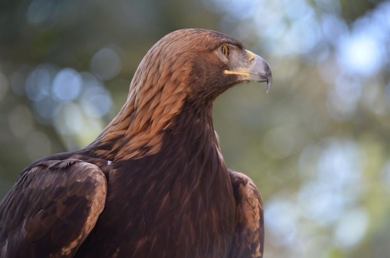 Truly Golden Eagle