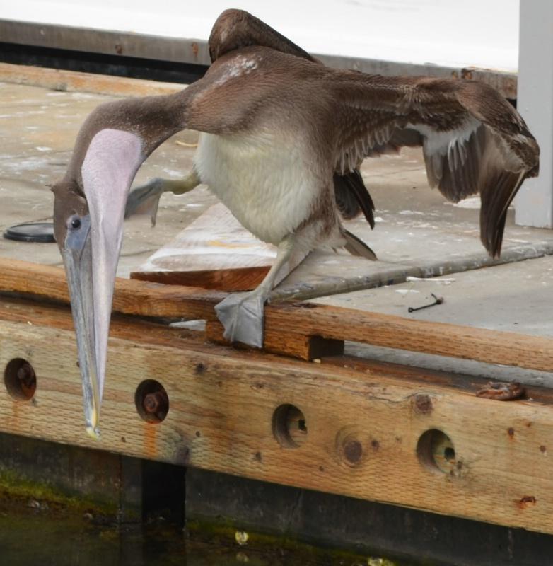 Pelican fast food window