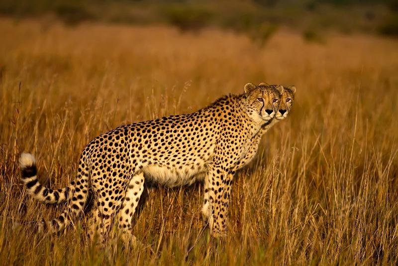 2 Cheetahs Seeing Double