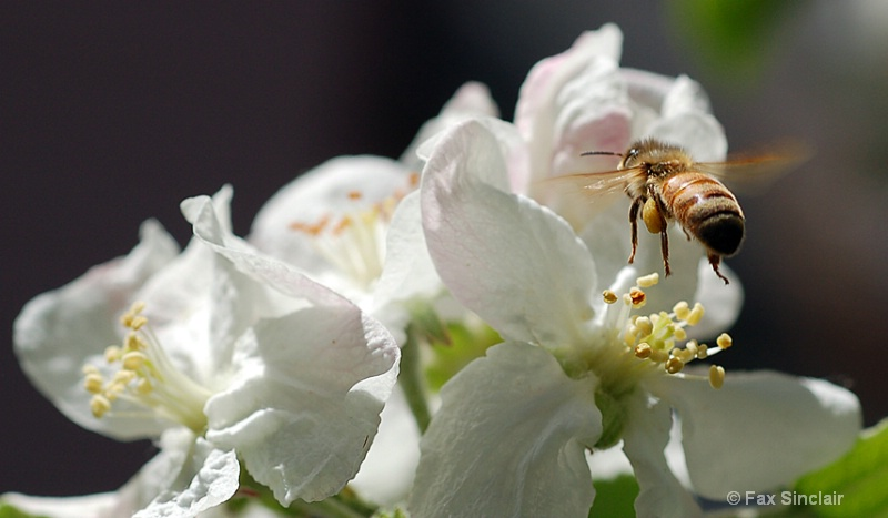 Apple Bee 1