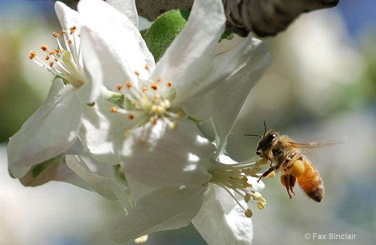 Apple Bee 2