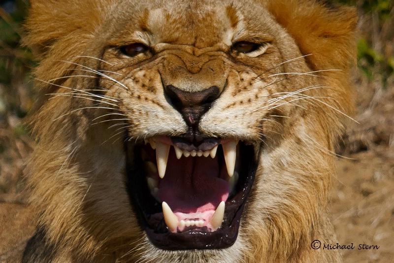 The King Roars