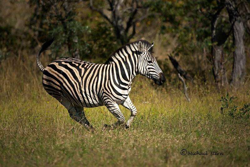 Zebra Running 1