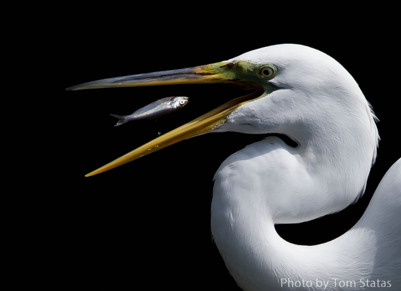 Egret and Screaming Fish