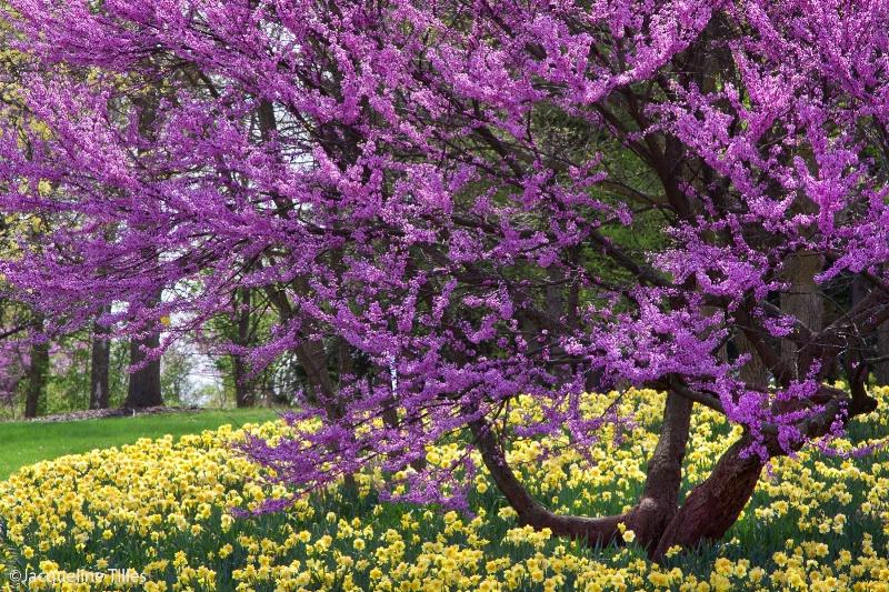 Redbud and Daffodils