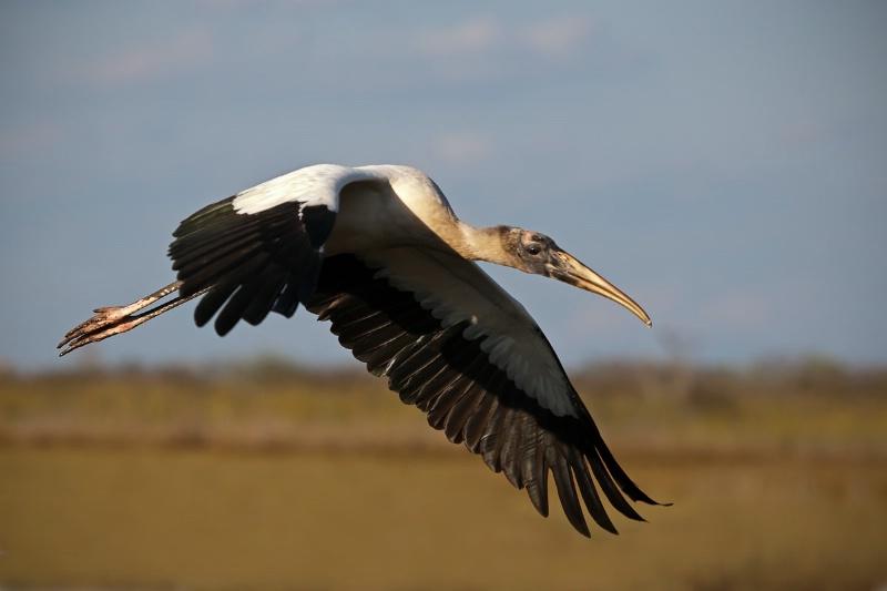 Woodstork Flying Right