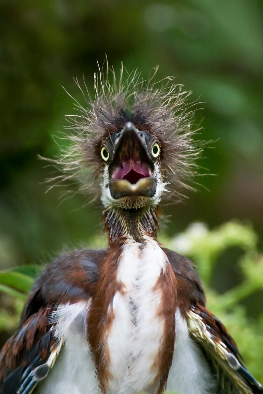 TriColor Heron Chick Bad Hair Day
