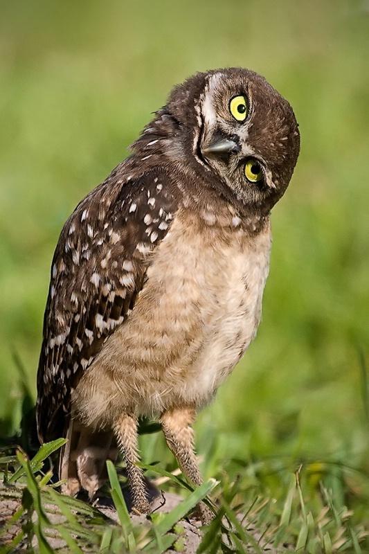 Burrowing Owl - Who me?