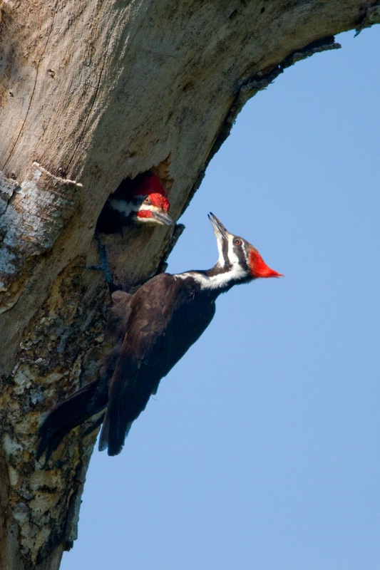 Pileated Woodpecker with baby