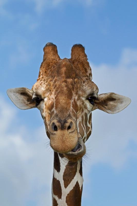 Giraffe vert