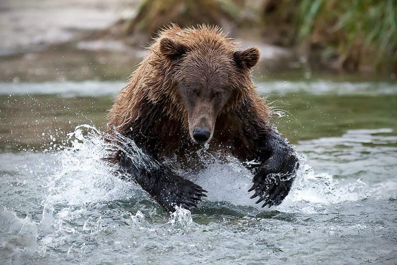 Coastal Brown Bear Two Paws Up
