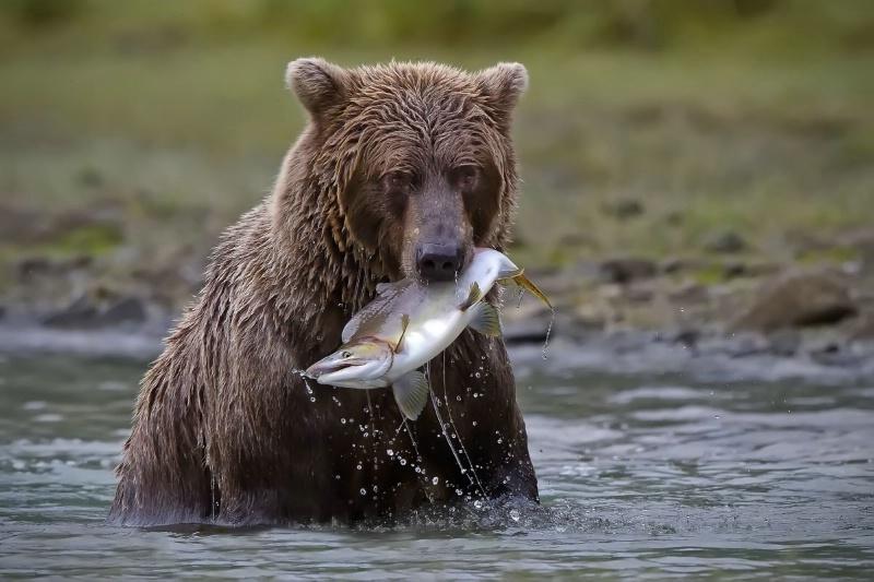 Coastal Brown Bear with Salmon Sitting in a Stream