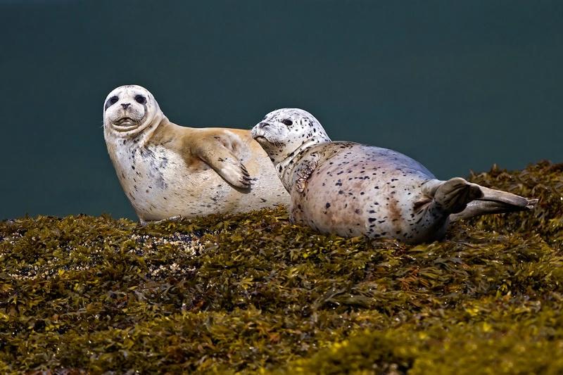 2 Harbor Seals