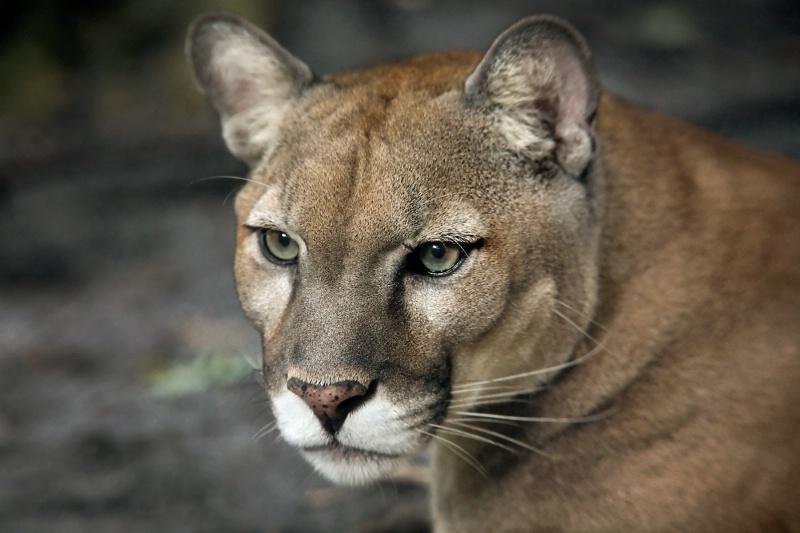 Florida Panther Head