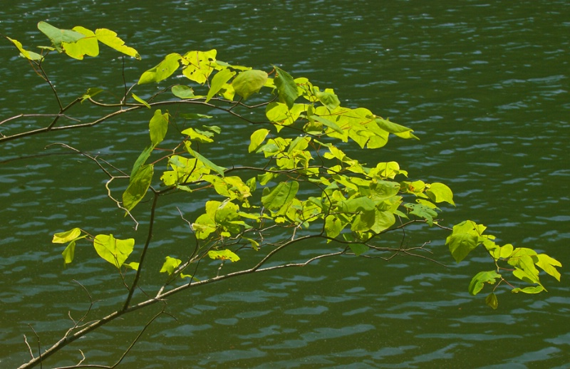 Sunlit Leaves over River