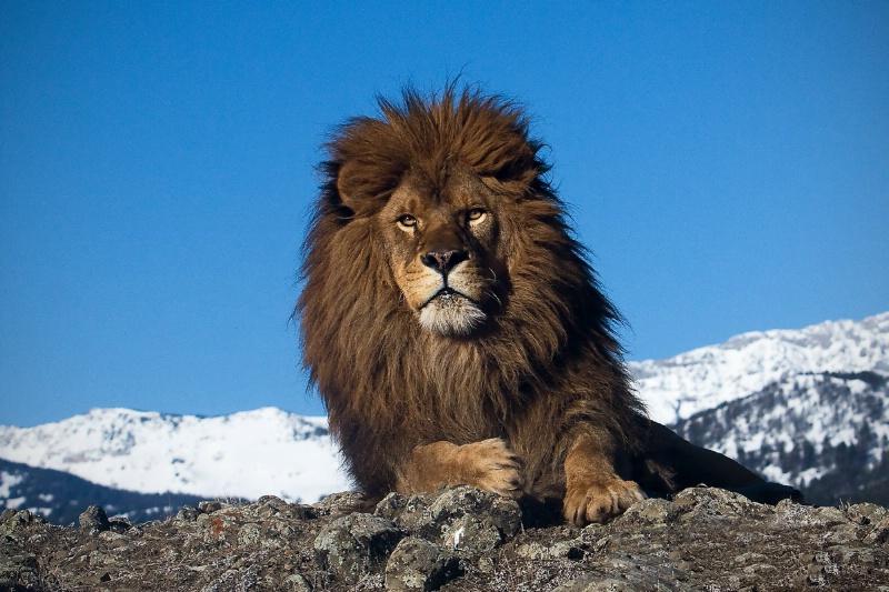 Barbary Coast Lion
