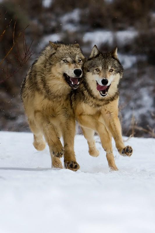 Grey Wolves Running