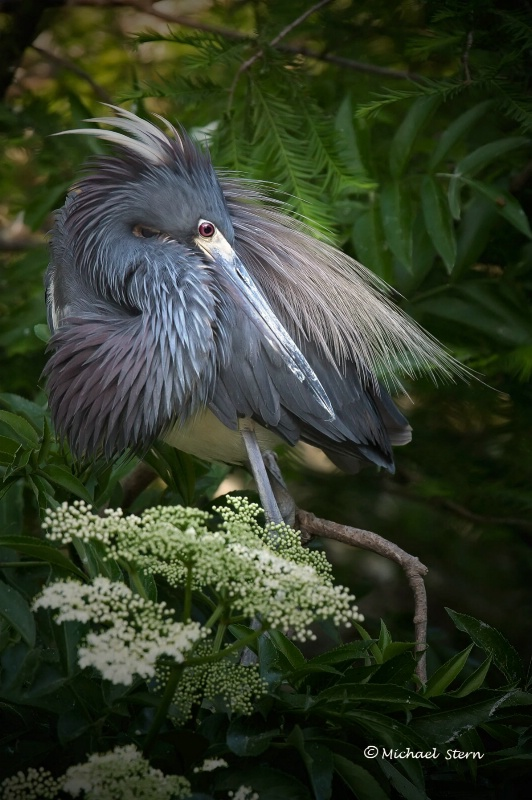 TriColor Heron with White Flowers