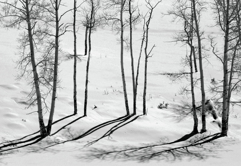 Aspen Shadows in Black and White
