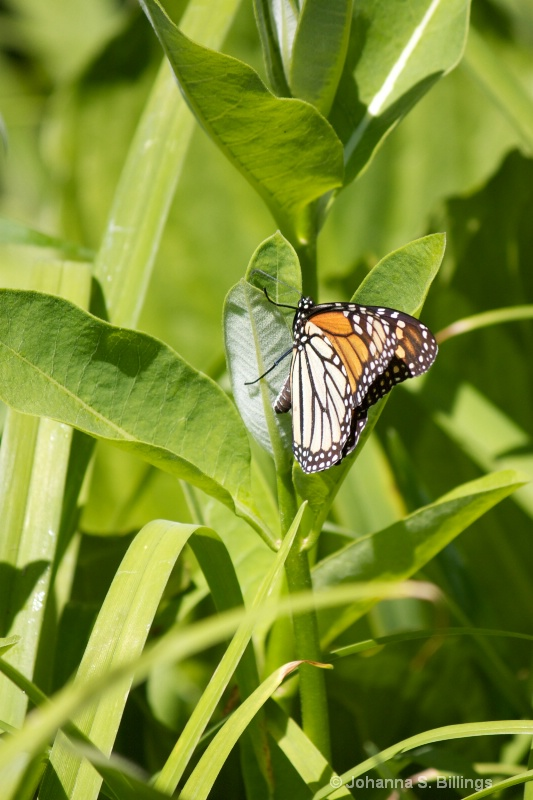 Monarch Laying Eggs 4