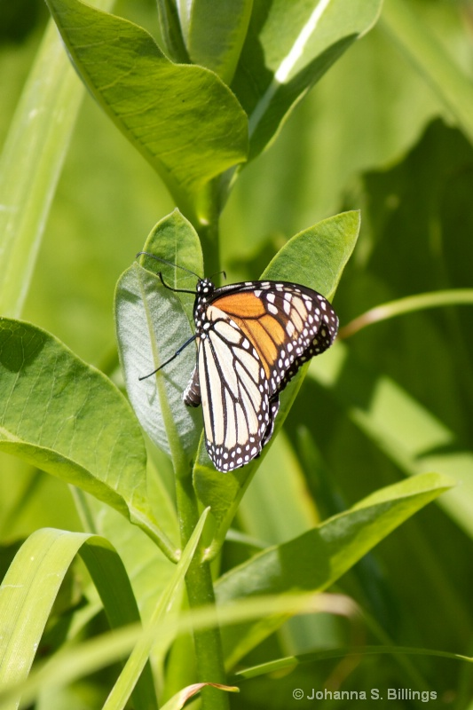 Monarch Laying Eggs 3