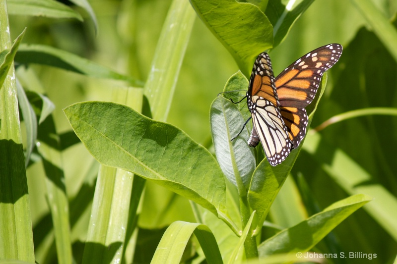 Monarch Laying Eggs 2