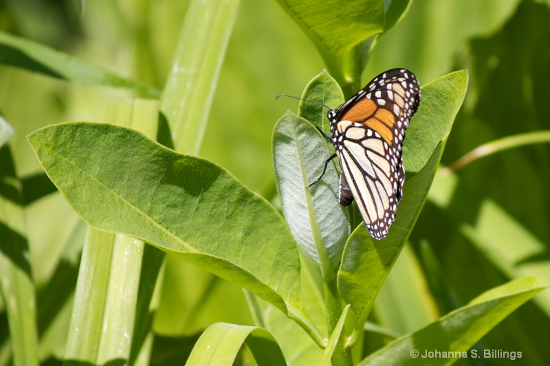 Monarch Laying Eggs 1