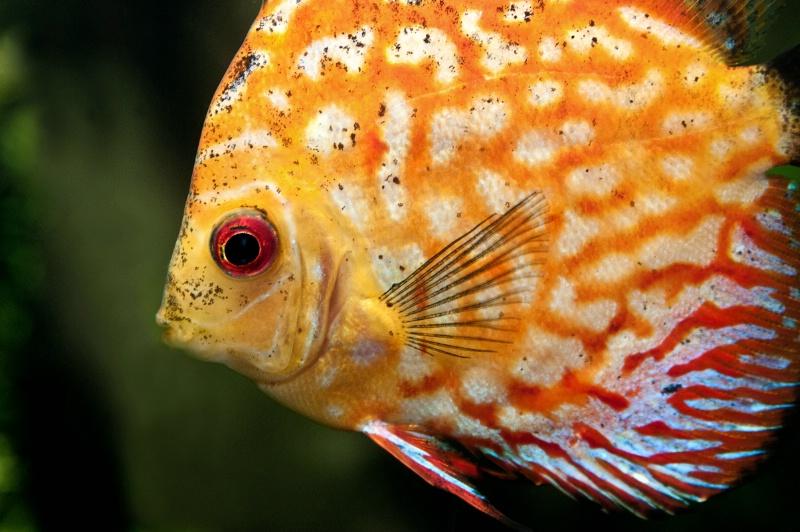 Atlanta Orange Fish