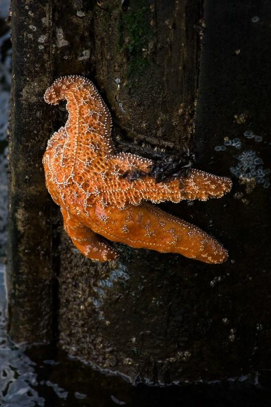 Starfish on Santa Cruz Island Dock