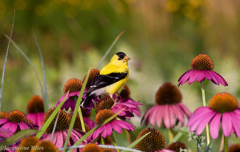 In the Coneflower Patch