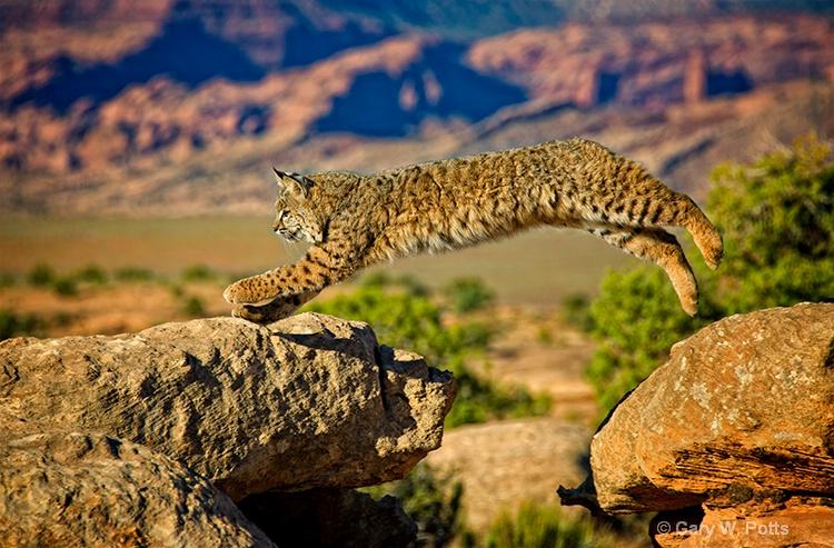 bobcat acrobatics