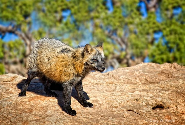 cross fox alert