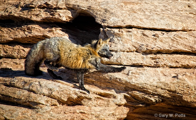 cross fox caution
