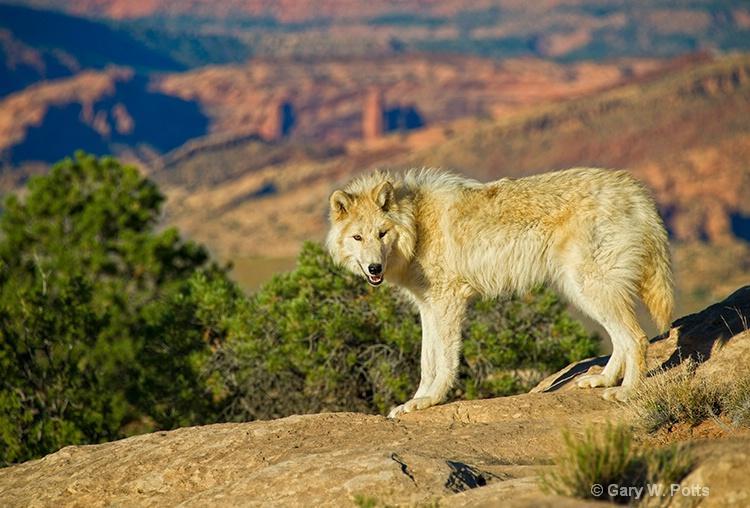 exploring wolf