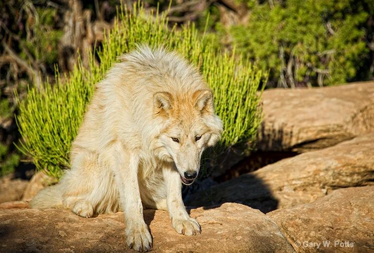 focused wolf