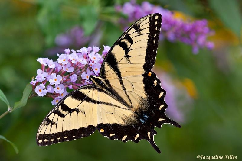 Tiger Swallowtail on Butterfly Bush