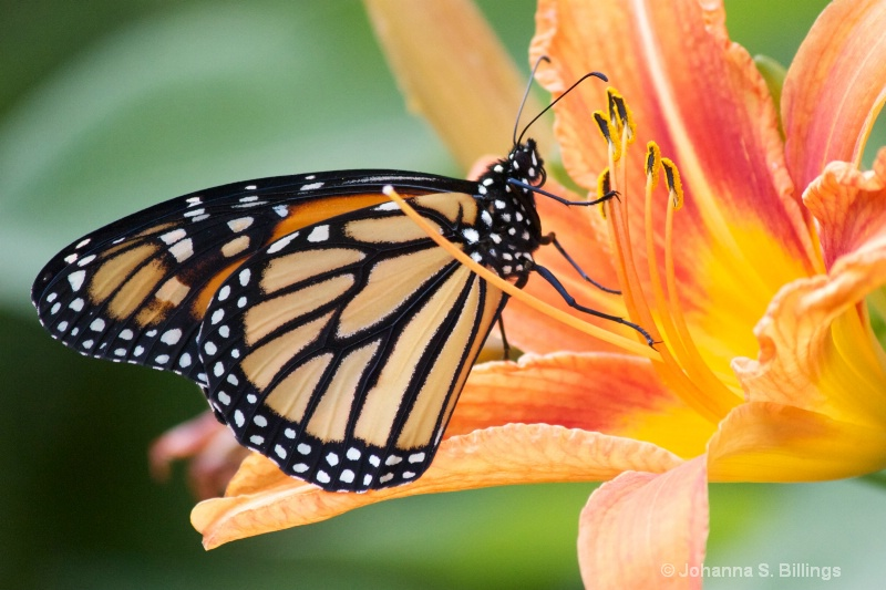Monarch and Pollen