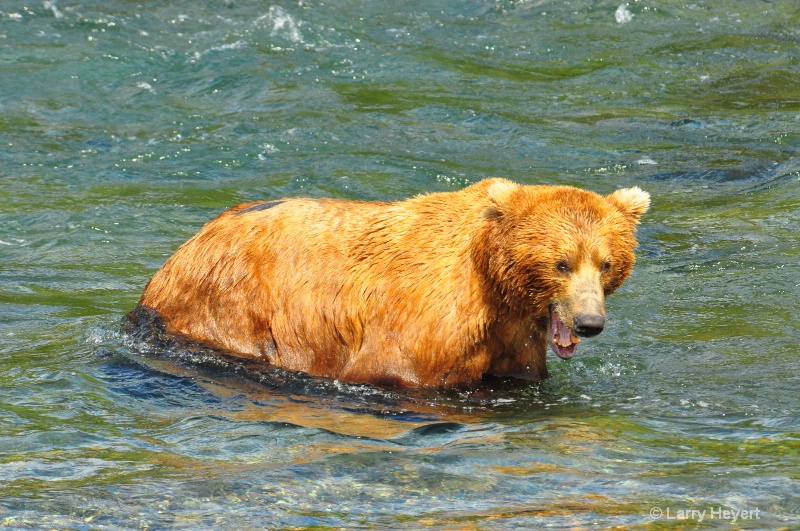 Brown Bear at Katmai National Park Alaska