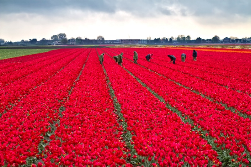 Rained Red Field
