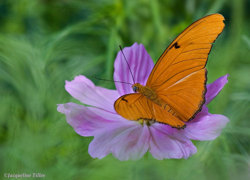 Julia Butterfly on Pink Cosmos