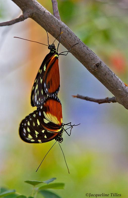 Tiger Longwing Butterflies