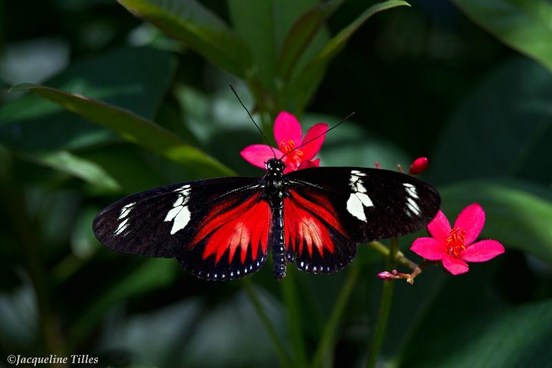 Doris Longwing Butterfly on Peregrina