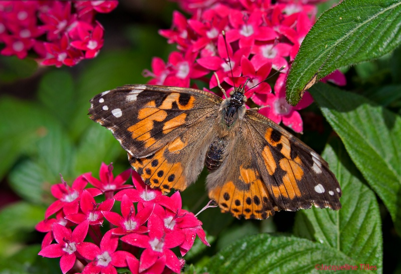 Painted Lady on Egyptian Star Cluster