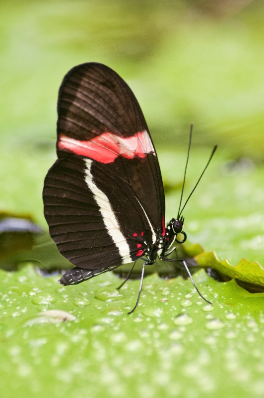 Butterfly on Wet Leaf