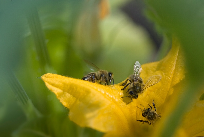 Bees Meeting in the Patty Pans