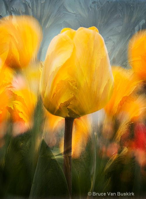 gold tulip
